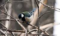 Japanese Great Tit