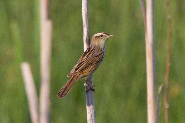 15 02 25 Aquatic Warbler British Bird Lovers