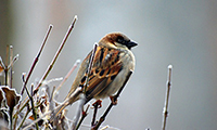 The Decline Of The House Sparrow