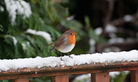 The Legend Of Robin Redbreast
