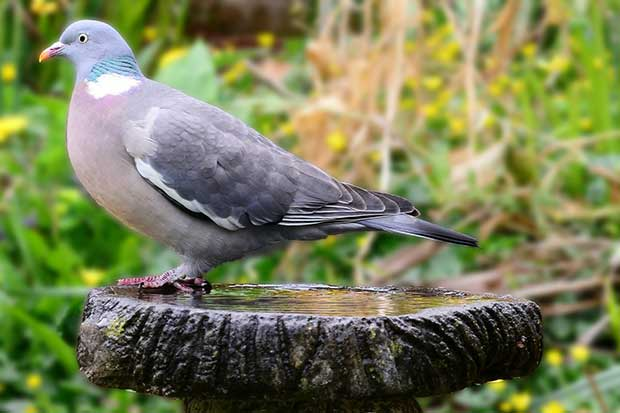 Wood Pigeon On Bird Bath
