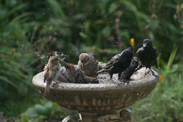 Birds On Bird Bath