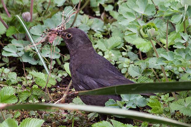Blackbird With Nesting Material