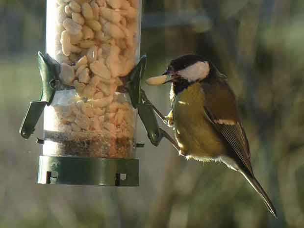 Great Tit At Bird Feeder