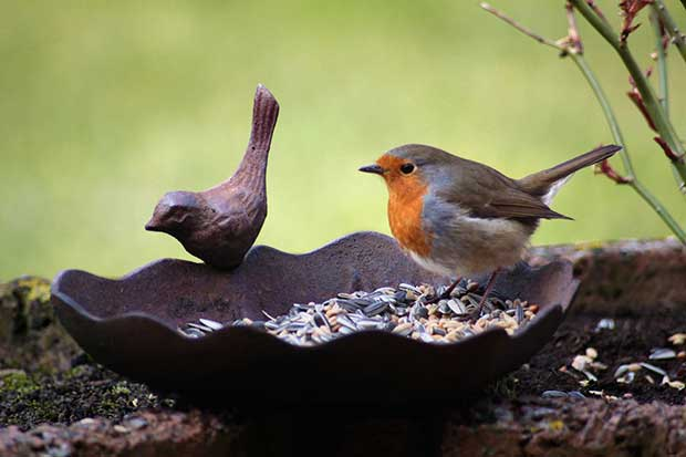 Robin With Bird Food