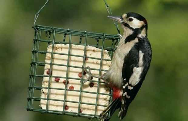 Woodpecker Eating Suet