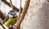 Blue Tit Eating Suet