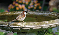 Sparrow On Bird Bath