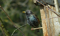 Starling At Bird Box
