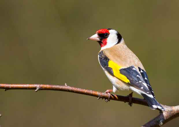 goldfinch british bird lovers