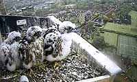 Norwich Cathedral Peregrines