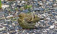 Sick Yellowhammer