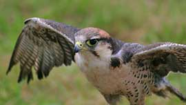 Birds Of Prey Experience For Two In The Cotswolds
