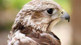 Birds Of Prey Experience In Essex