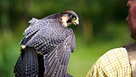 Birds Of Prey Falconry Experience For Two