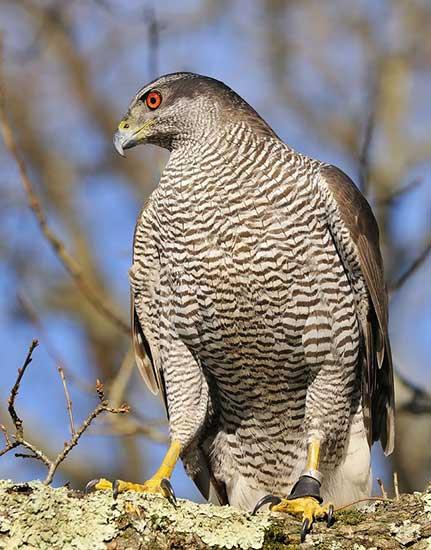 British Birds Of Prey British Bird Lovers