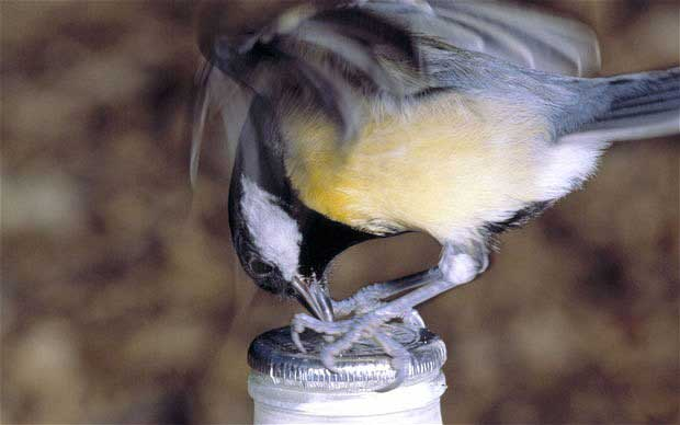 Blue Tit Pecking Milk Bottle