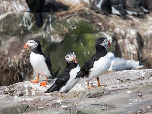 Puffins, The Farne Islands