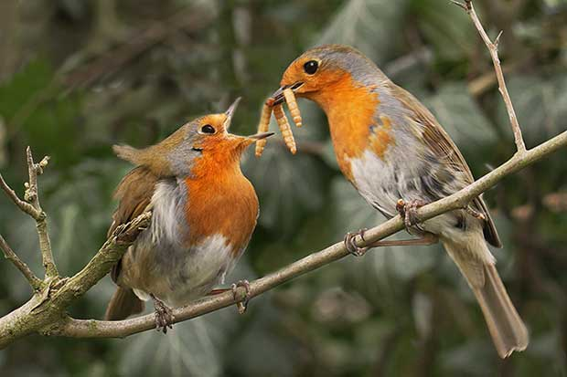 Courtship Behaviour In Birds British Bird Lovers