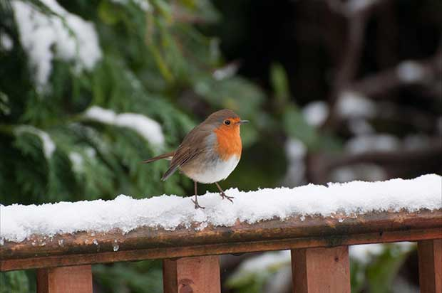 another legend says that the robins breast is red because of his association with christs death and crucifixion when jesus was on the road to calvary it - Is Red Robin Open On Christmas