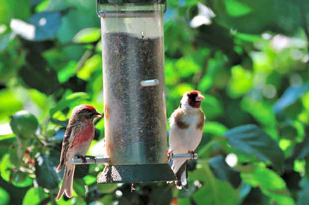 Lesser Redpoll And Goldfinch Feeding