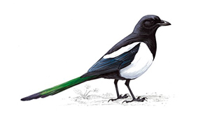 A Tidings Of Magpies