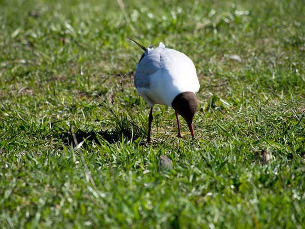 Black-Headed Gull Looking For Worms