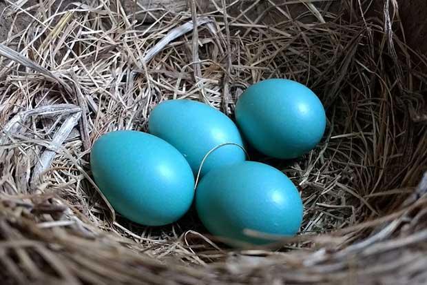 are robins eggs blue british bird lovers