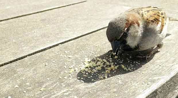 Why Bird Brain Shouldnt Be Considered >> Is It Ok To Feed Bread To Birds British Bird Lovers