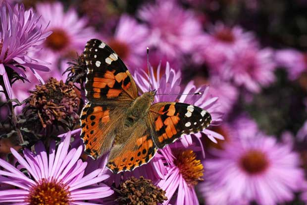 Painted Lady On Chrysanthemums