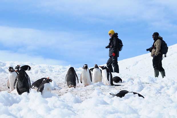 Gentoo Penguins, Antarctic