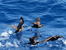 Pacific Islands Bird Watching Holiday